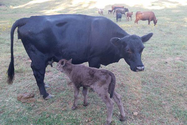 A black cow nursing her calf