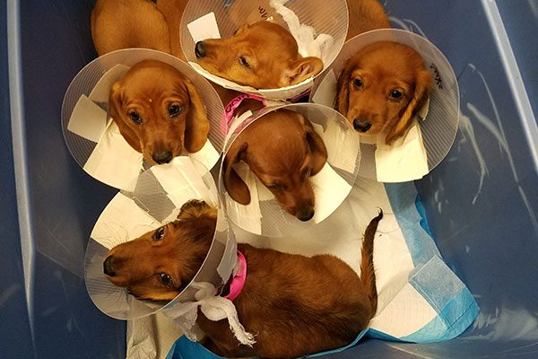 A group of five puppies with cones around their heads