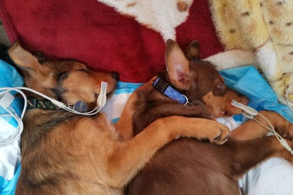 Two brown and tan puppies sleeping and cuddling