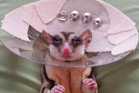 A Sugar Glider that is wearing a cone after surgery