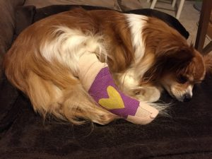 A tan and white dog laying down with a purple cast on his foot