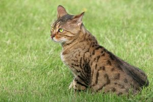 A white and tan spotted cat